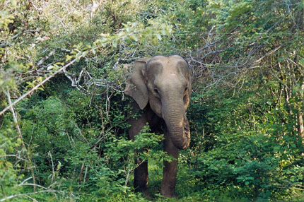 Elefant im Yala Nationalpark 2002